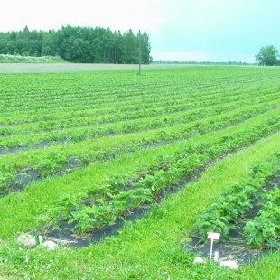 Daudz pūļu tiek ielikts, lai zemeņu lauki izskatītos šādi sakopti.